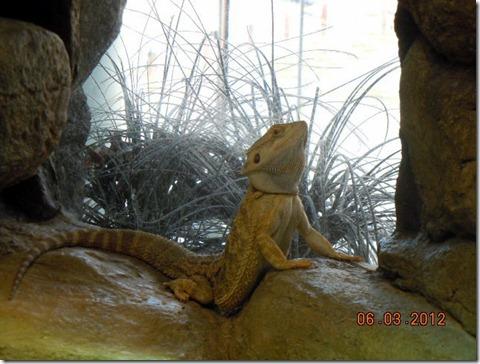 A Proud Australian Lizard