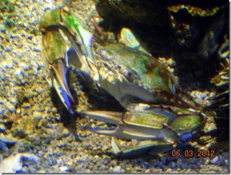 A Blue Crab( looked green to me!)