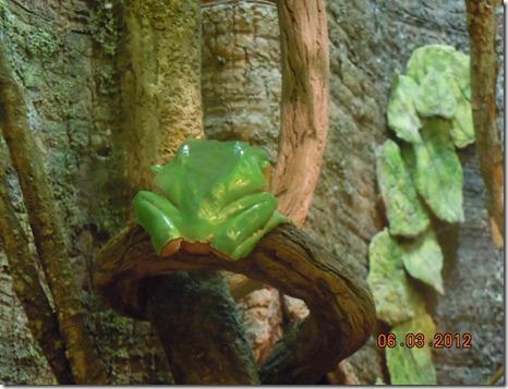 An Amazon green tree frog.