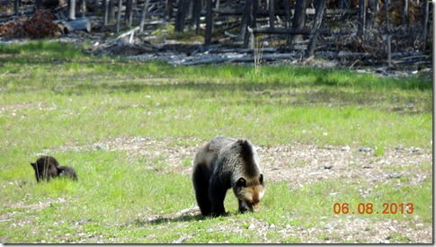 Bear and cubs between Hinton and Grand Prairie