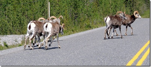 Between Strawberry Flats and Liard River  Male Stone Sheep