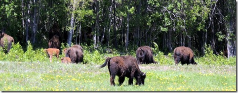 Bison  Between Strawberry Flats and Liard River