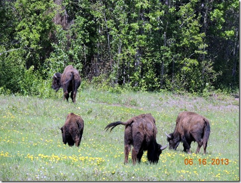 Bison-Between Strawberry Flats and Liard River