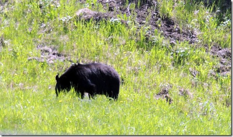 Black bear-Between Strawberry Flats and Liard River