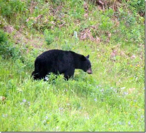 Black bear-Between Muncho Lake and Liard River Hot Springs