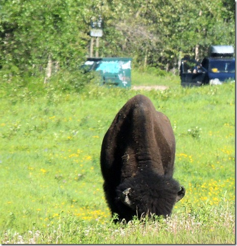 Bison- Scenery between Liard River Hot Springs BC and Watson Lake YT