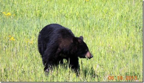 Black Bear- Scenery between Liard River Hot Springs BC and Watson Lake YT