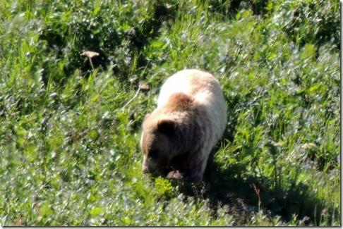 Bear at the Eielson Visitor Center Denali Park Tour