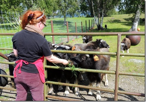 One year olds-Musk Ox Farm