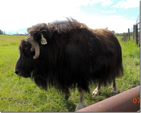Mother- Musk Ox Farm