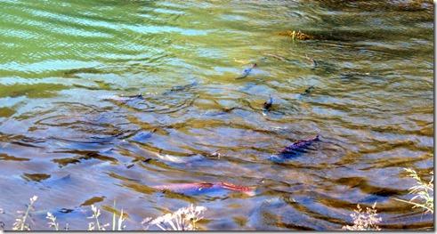 Seward AK Lagoon and salmon