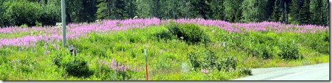 Fields of fireweed between Soldontna and Homer