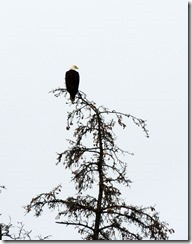 Bald Eagle Homer AK