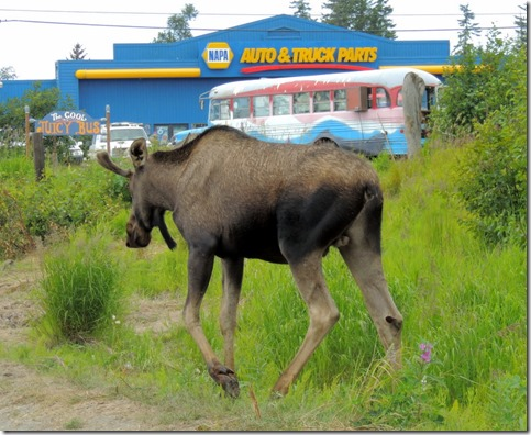 Male Moose- Homer AK