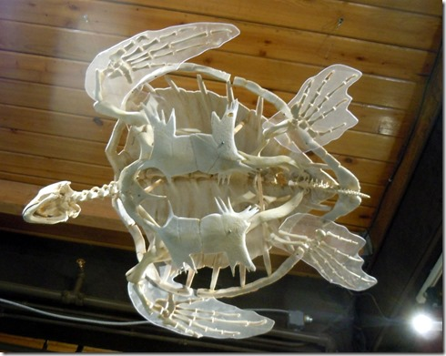 Turtle skeleton-Pratt Museum Homer AK