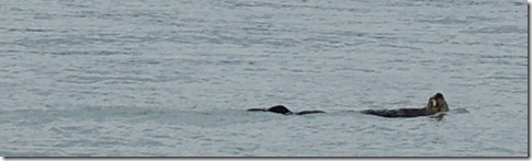Sea Otter in front of motor home