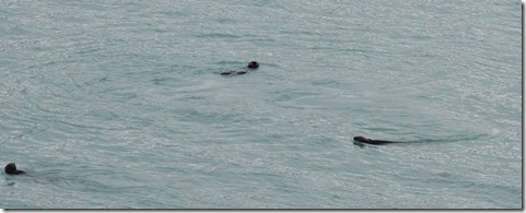 Sea Otters playing in front of the motor home