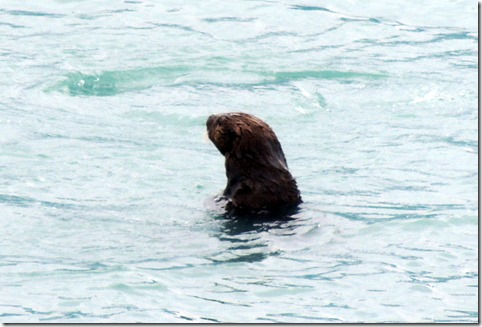 Sea Otter in front of motor home Valdez