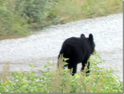 Bear on McCarthy Road