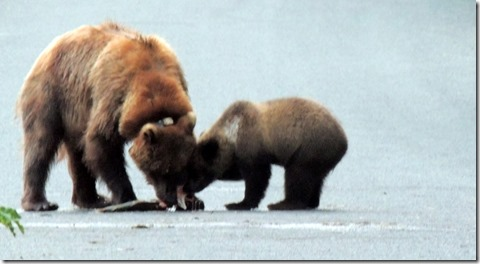 Sow and cub eating salmon on the road