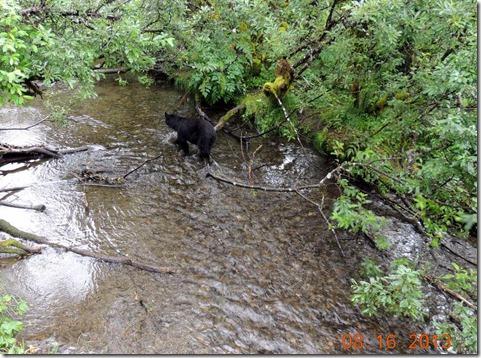 Bear hunting salmon at Mendenhall Glacier