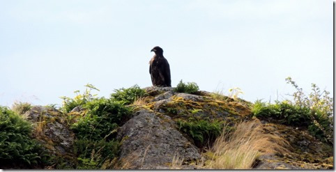 Young blad eagle, <5 yr old