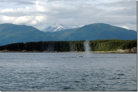 Three humback whales blowing air