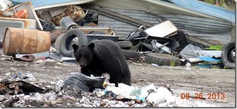 Black bear at dump