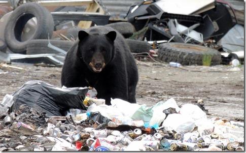 Black Bear at Hyder dump