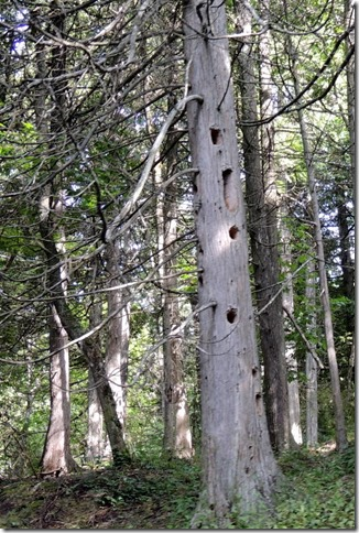 Wood pecker holes in trees