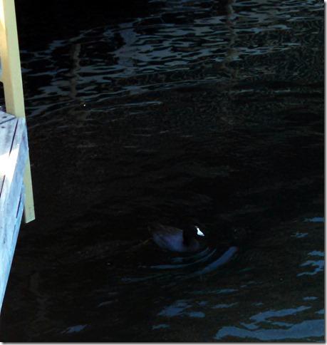 Not a duck - Lake Pleasant AZ
