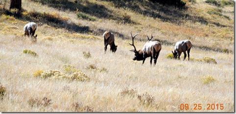 Ellk Rocky Mountain National Park