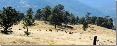 Elk Rocky Mountain National Park