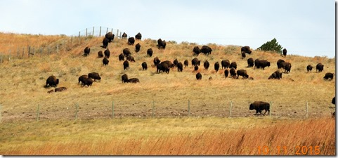 Bison-Custer State Park