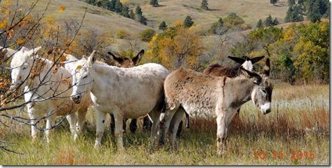 Mules-Custer State Park