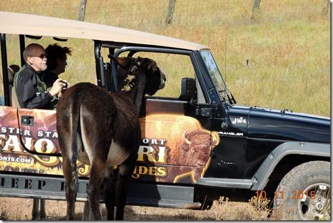 Friendly mule-Custer State Park
