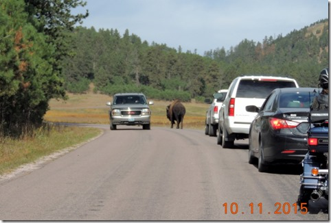 Bison on road-Custer State Park