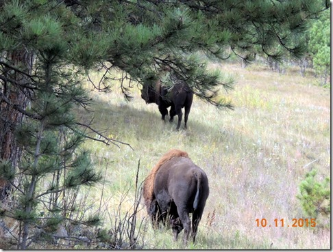 Bison- Custer State Park