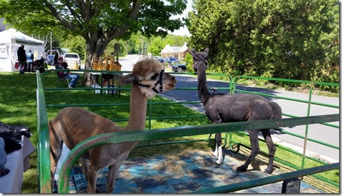 Alpaca's at Baileys Harbor Craft Fair