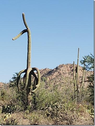 interesting saguaro